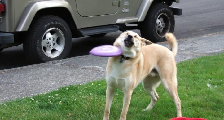 dog frisbee fail